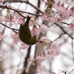 伊豆高原のメジロ